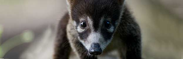 White-Nosed Coati Cub