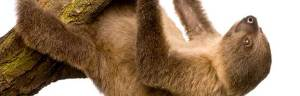 Young_Two-Toed_Sloth