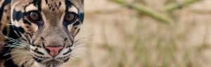 clouded_leopard