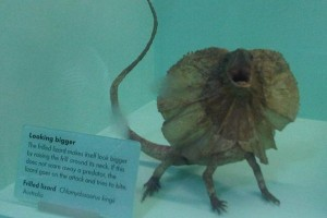 Frilled Lizard Facts