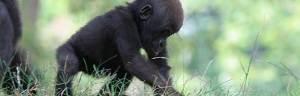 gorilla_infant