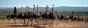 ostrich_minisite