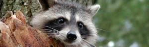 raccoon_baby