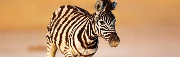 Zebra Homework Help 101