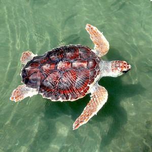 Loggerhead sea turtle - Caretta caretta