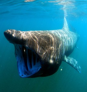 Basking shark Information