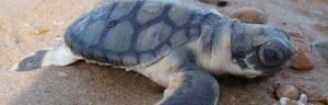 Flatback_turtle_Purpleturtle57