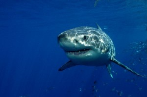 Great White Shark Information