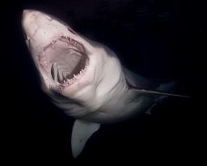 Shark Feeding habits