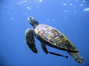 Sea Turtles Facts and Information