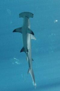Hammerhead_Shark_400
