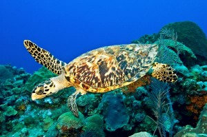 Hawksbill sea turtle Information