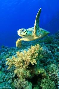 Hawksbill Sea Turtle Facts