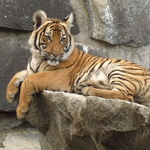 Indochinese Tiger picture