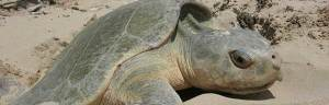 Kemp's_Ridley_turtle_National-Park-Service