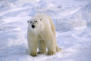 Large_Mature_Male_Polar_Bear_Canadian_Arctic_400