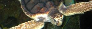 Loggerhead_turtle_Bachrach44