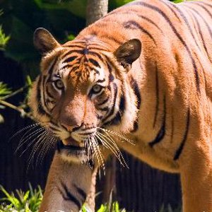 Malayan Tiger Picture