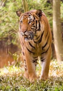Malayan Tiger - Panthera tigris jacksoni