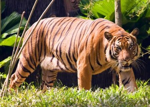 Malayan Tiger Facts and Information
