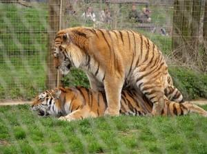 Tiger Life Cycle