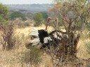 Ostrich Fight