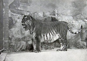 Turan tiger or Hyrcanian tiger
