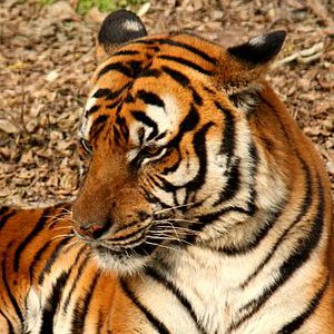 South China Tiger Picture