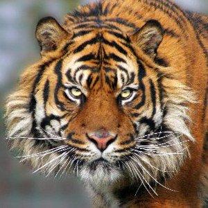 Sumatran Tiger Picture