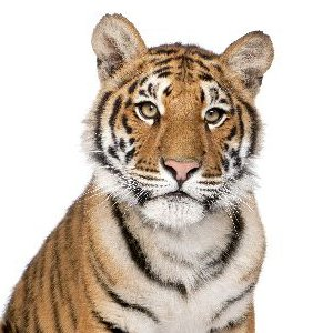 Tiger Anatomy Picture