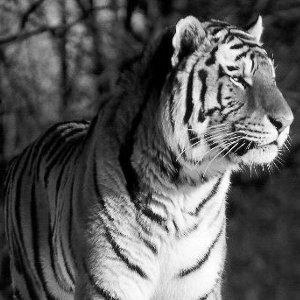 Tiger Extinct Picture