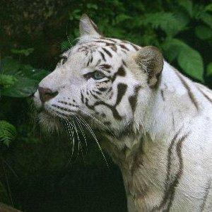 Tiger Species Picture