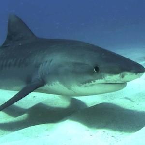 Tiger shark-Albert kok 2