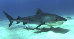Tiger Shark - Galeocerdo cuvier / Photo taken by Albert Kok
