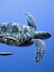 Types of Sea Turtles - Picture