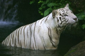 Bengal Tiger Facts and Information