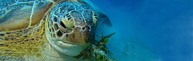 Sea Turtles Feeding