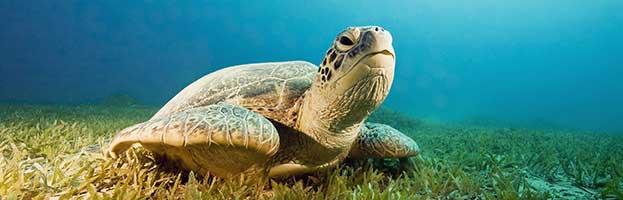 Sea Turtles Habitat and Distribution