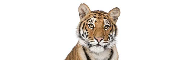 Tigers Anatomy