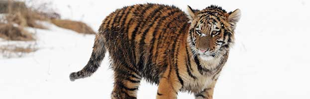 Tiger Extinct Subspecies