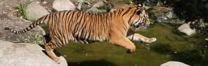 tiger_habitat