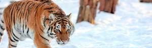 tiger_minisite