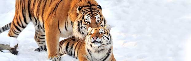 Tiger Reproduction