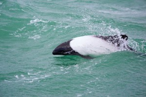 Commerson's Dolphin Facts and Information