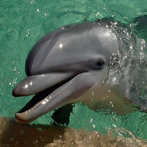 Dolphin Reproduction picture
