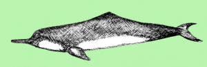 Chinese River Dolphin Facts and Information