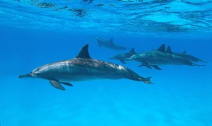 Spinner_Dolphins_In_Nature._600