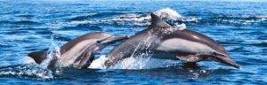 Double Dolphin