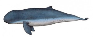 Irrawaddy dolphin Facts and Information