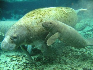 Manatee Calf with Mother